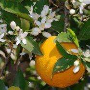 Naranjos.-a