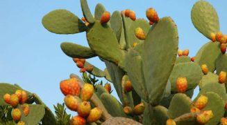 Opuntia_ficus-indica-800x445