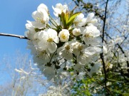 Prunus avium Flof