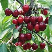 Prunus avium.-a