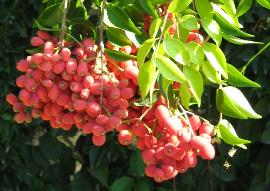 Riberry.-Syzygium luehmannii (1)