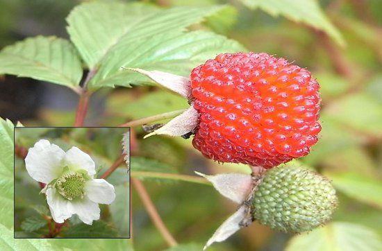 Rubus probus