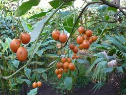 Solanum betaceum.-a