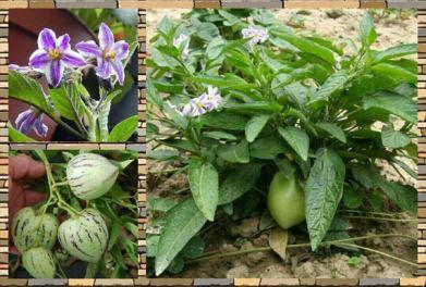 Solanum muricatum.-a